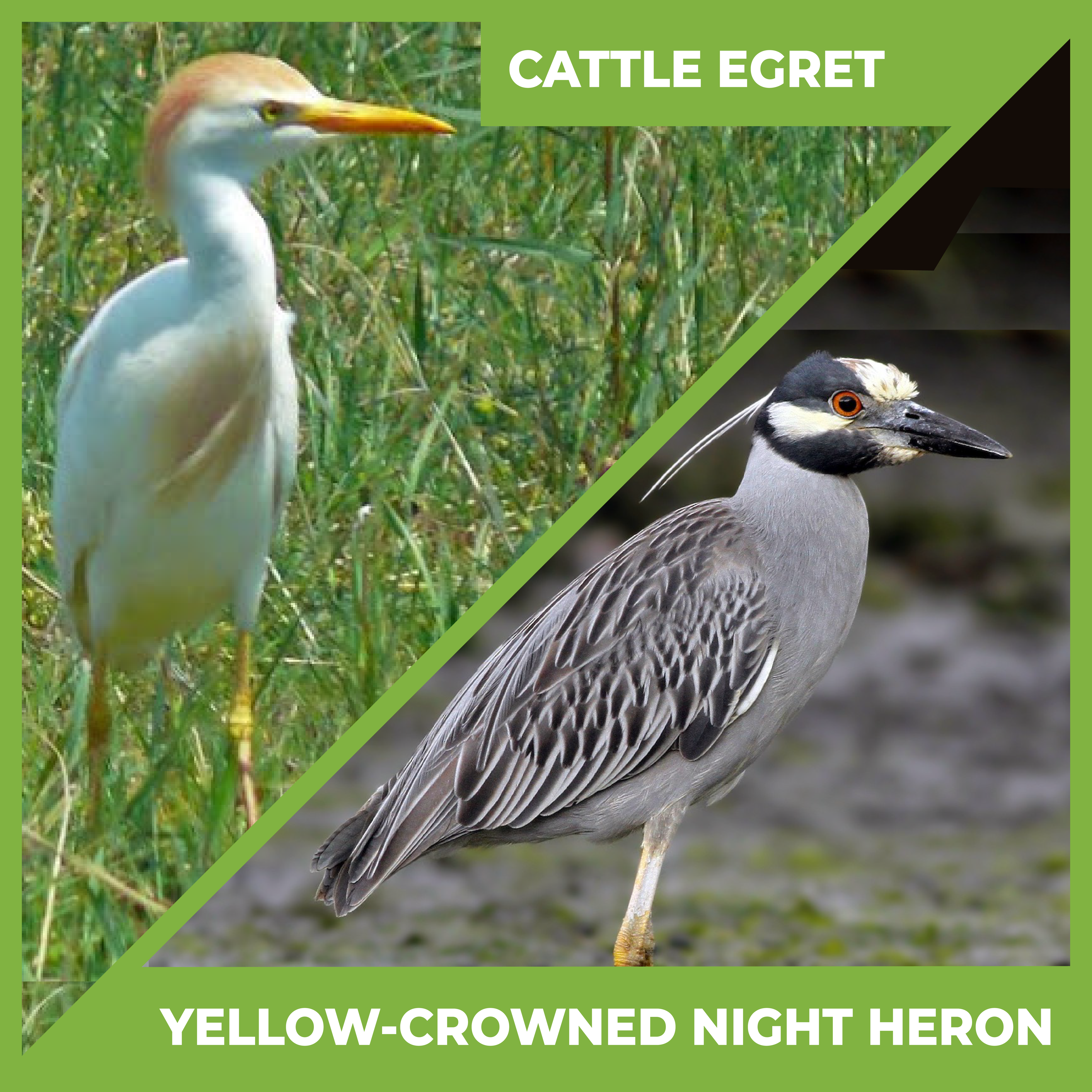 Photos of a cattle egret and a yellow-crowned night heron