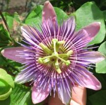 passion vine flower